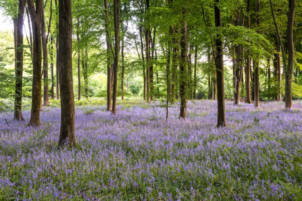 Hampshire Bluebells (4 hours)