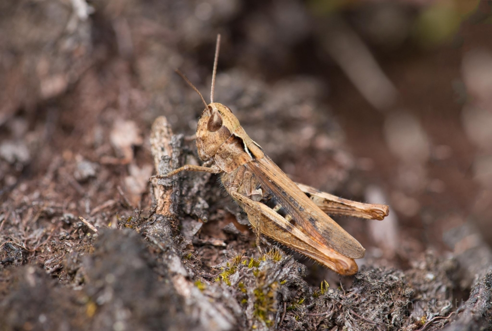 Heath Grasshopper