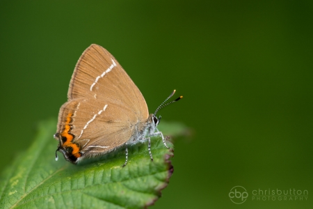 White-letter Hairstreak