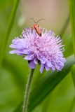 Soldier Beetle on Field Scabious