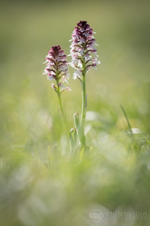 Burnt-tip Orchid